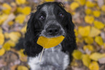 Un Epagneul Russe tient une feuille jaune dans sa bouche