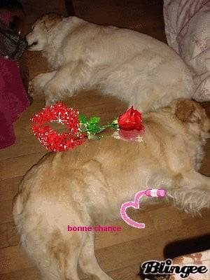 Chien pour les chiennes a queya2 - Golden Retriever  (1 mois)