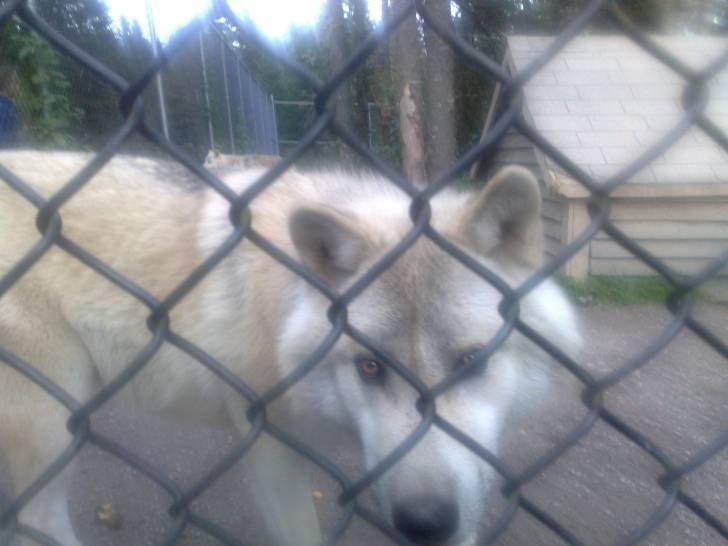 a wolf - Mâle (Autre)
