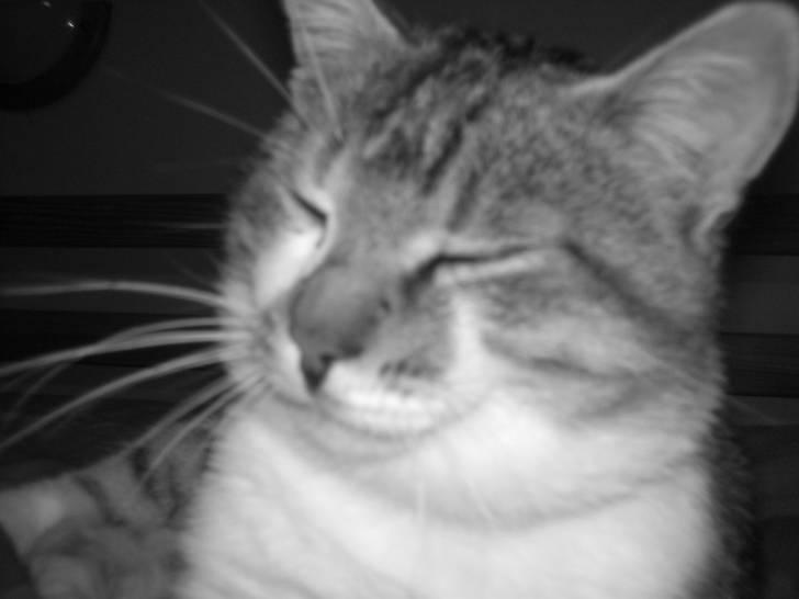 Pussy cat - Mâle