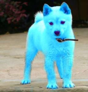 Ice puppy -