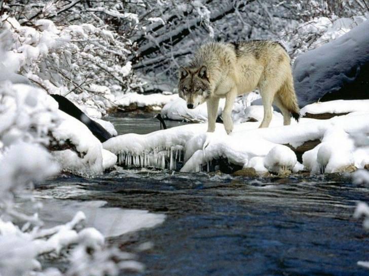 Loup -