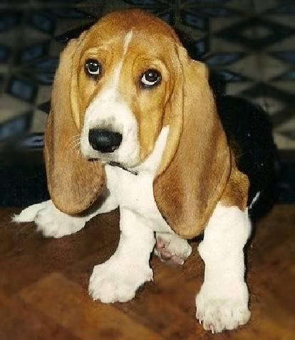 Chien Urti mon tit basset hound - Basset Hound  (6 mois)