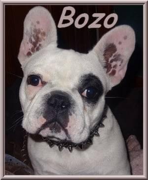 Chien Bozo bientôt 7 mois - Bouledogue français Mâle (7 mois)