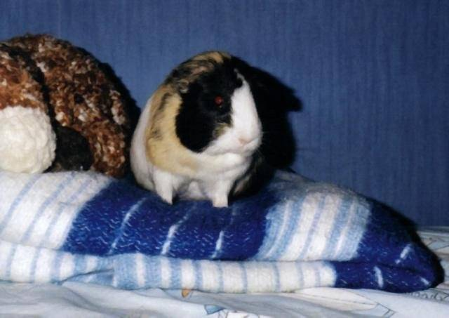 TAGADA - Cochon d'inde -