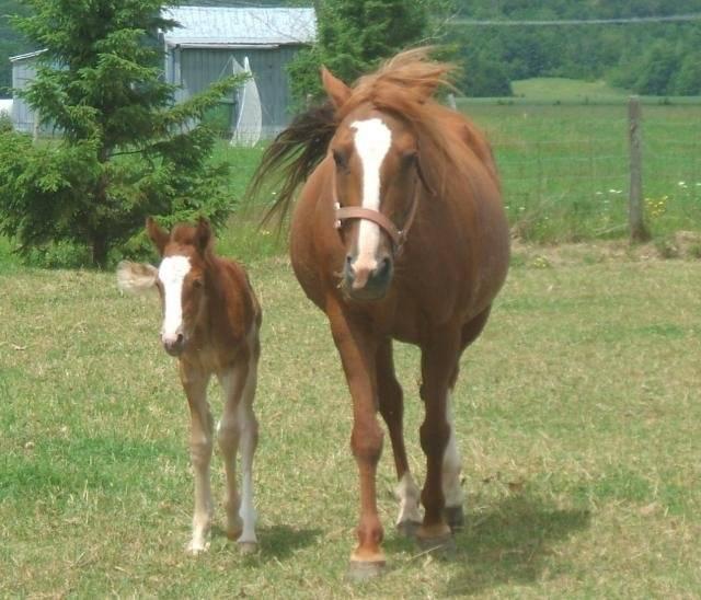 Quatter horse X Appaloosa, Lady -