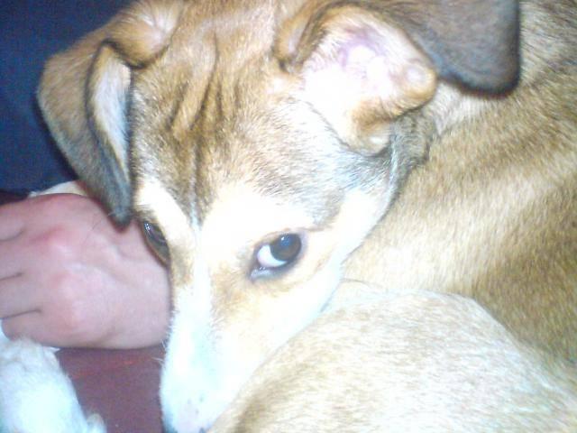 Fox Terrier croisé Berger des Pyrénées: Dita -