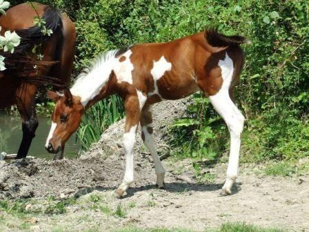 Savanah poulain - (3 mois)