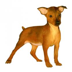 Le Pinscher nain arrive sur Dogzer !