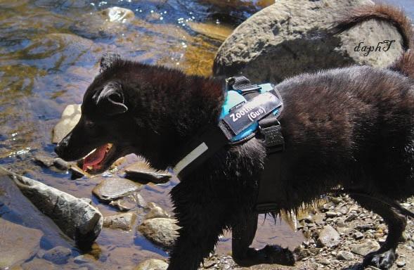 voici Gus mon chien Labrador croisé Terre Neuve de 8 ans