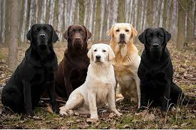 Groupe de labradors